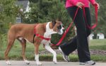 Easy walk dog harness for dog